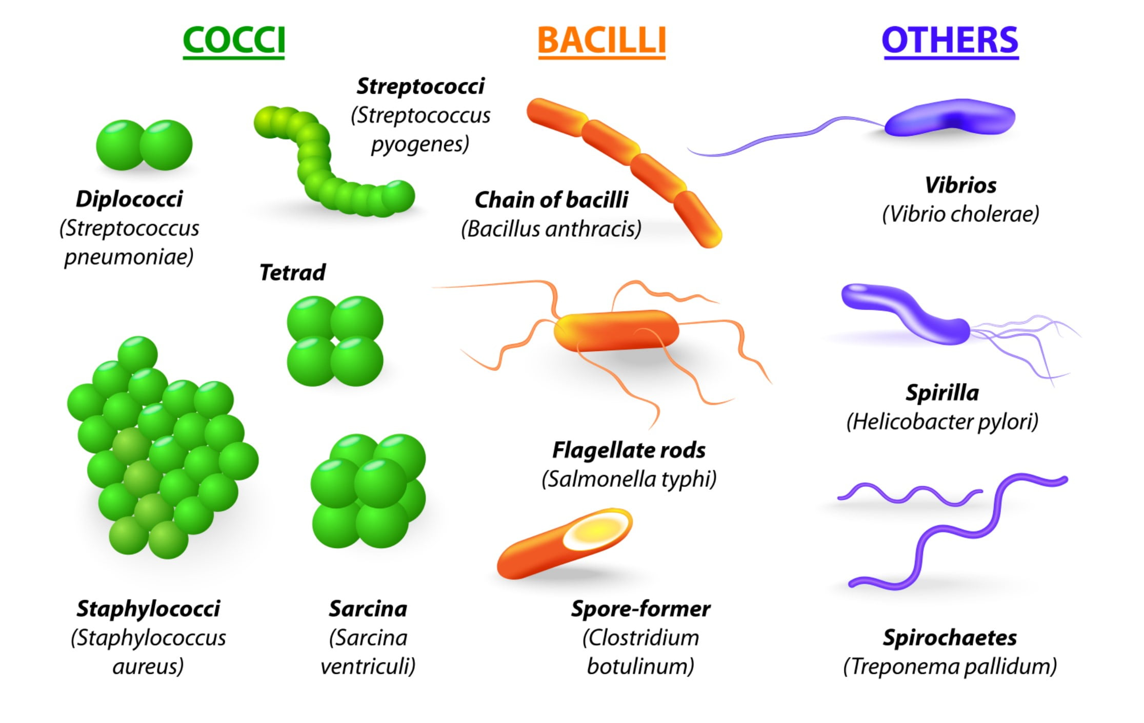 The different shapes of bacteria
