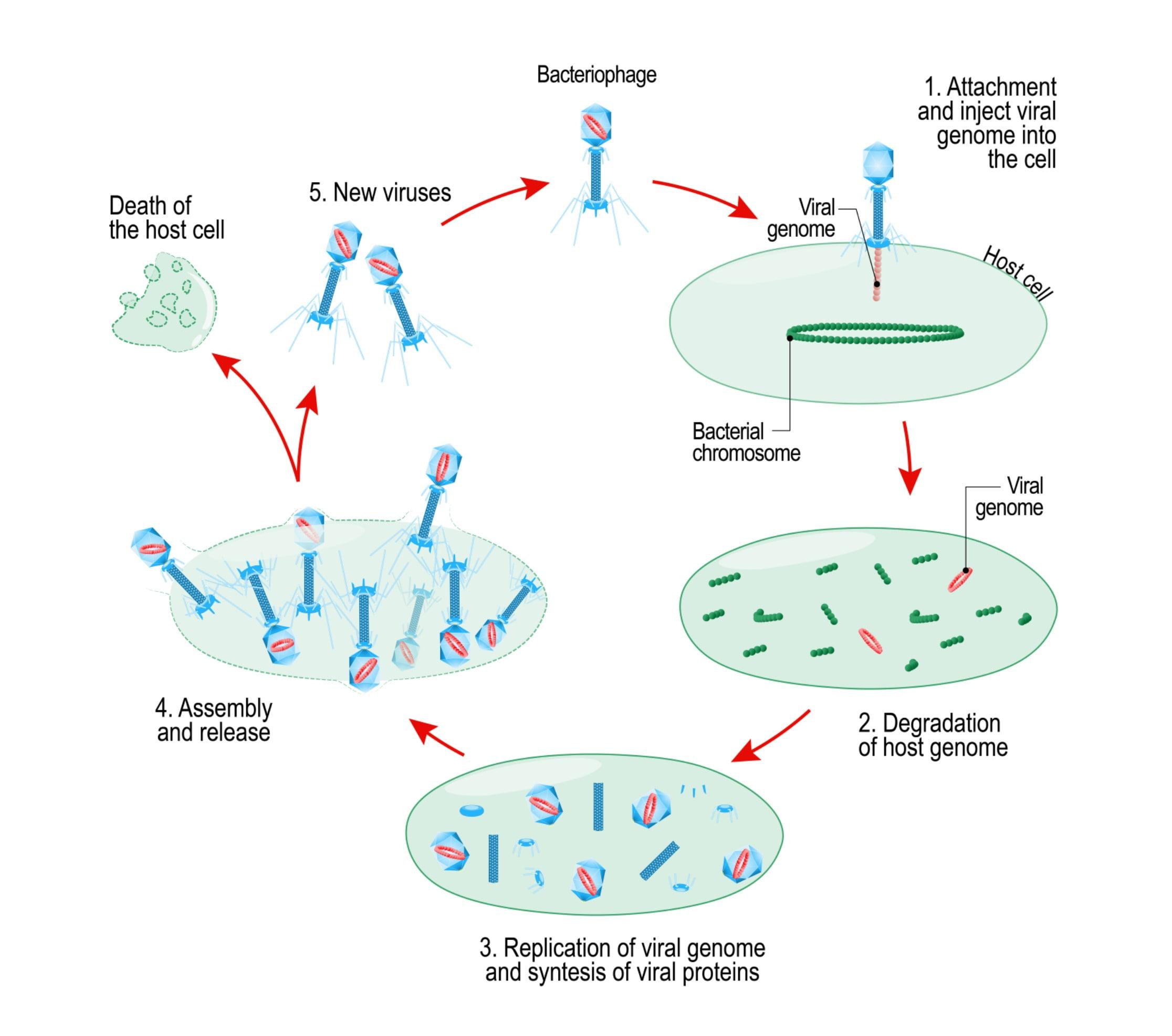 Virus reproduction